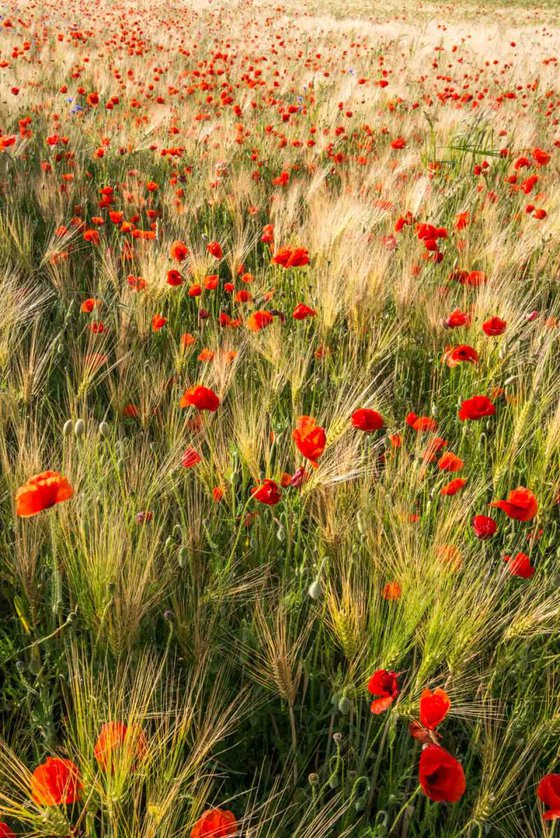 Poppy Meadow  - A4 Limited Edition Print