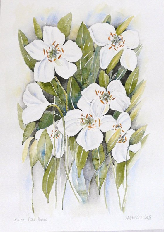 Lilium Casa Blanca (Lily)