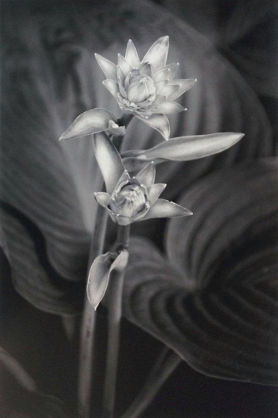 Two Hosta Flowers