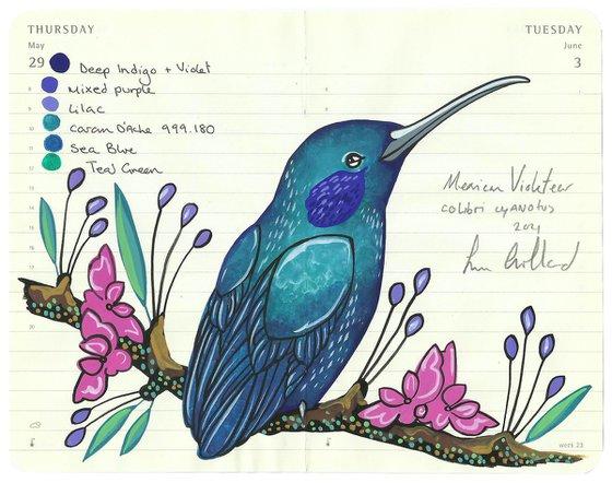 Birds of North America: Mexican Violetear