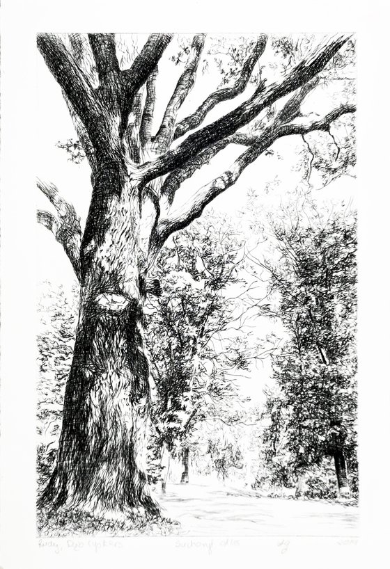 Cysterian Oak Tree