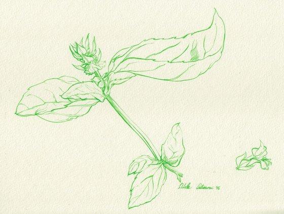Basil - Ocimum basilicum
