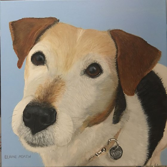 MOLLY - JACK RUSSELL