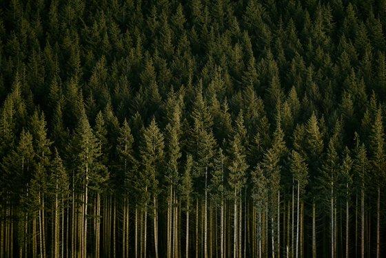 Midnight Pines