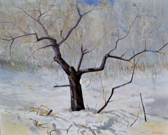 Apple tree in winter
