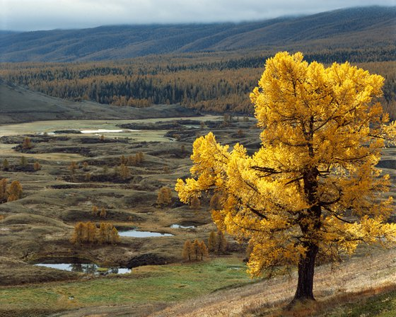 Autumn larch over a mountain valley
