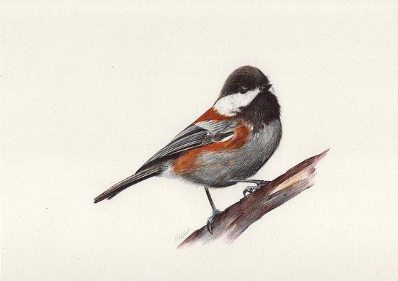 Chestnut-backed Chickadee (Ballpoint Pen Drawing)