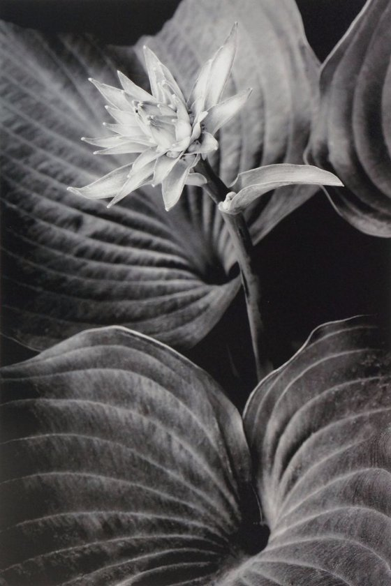 Hosta Flower Amidst Leaves