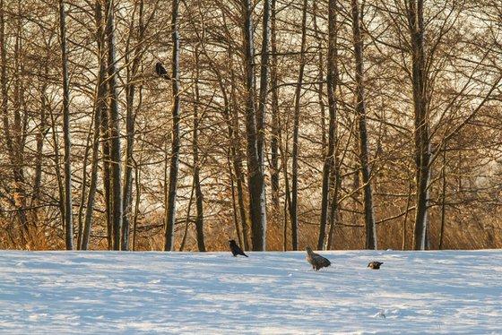 Photography   Birds   Haliaetus albicilla