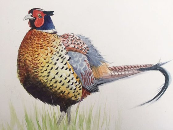 Scottish pheasant