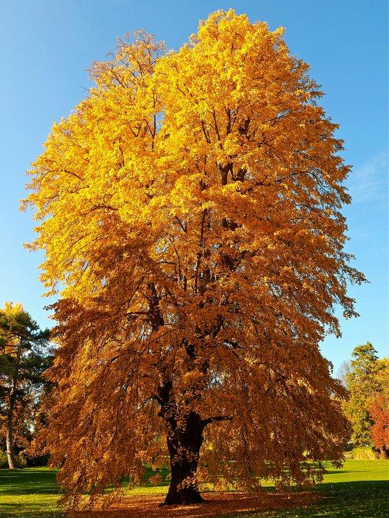 Autumn Tulip Tree