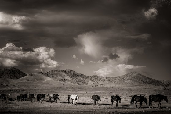 Onaqui wild horses on the Great Basin Desert