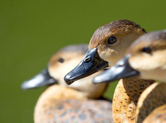Animals Birds - Wandering whistling Ducks Bokeh