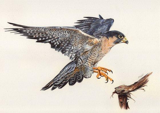 Peregrine Falcon (Ballpoint Pen Drawing)