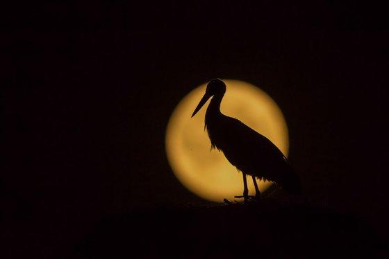 Photography   Birds   Ciconia ciconia