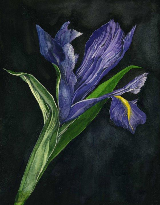 blue dutch iris watercolor floral