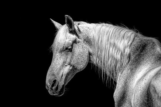 Side profile of a white horse.