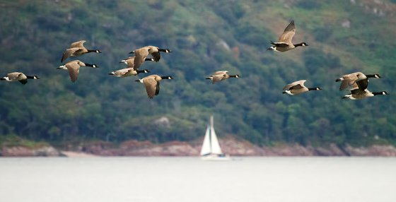 Canada Geese in flight over a loch on the Isle of Mull, Scotland, UK
