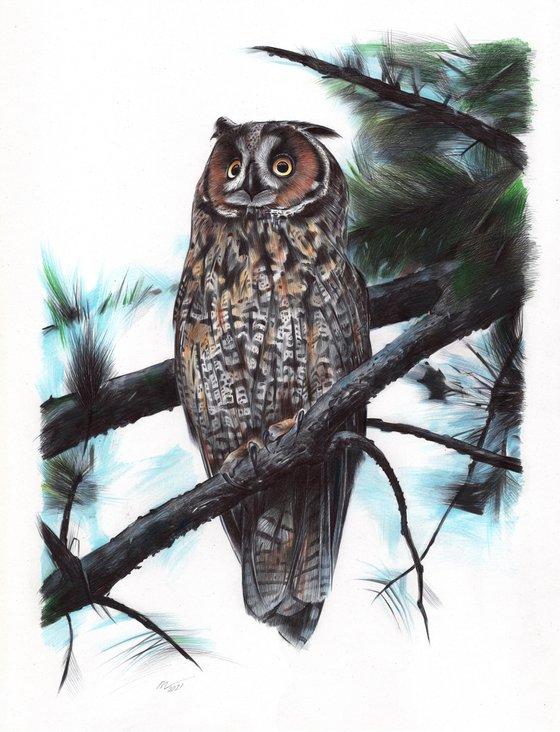 Long-eared Owl (Ballpoint Pen Drawing)