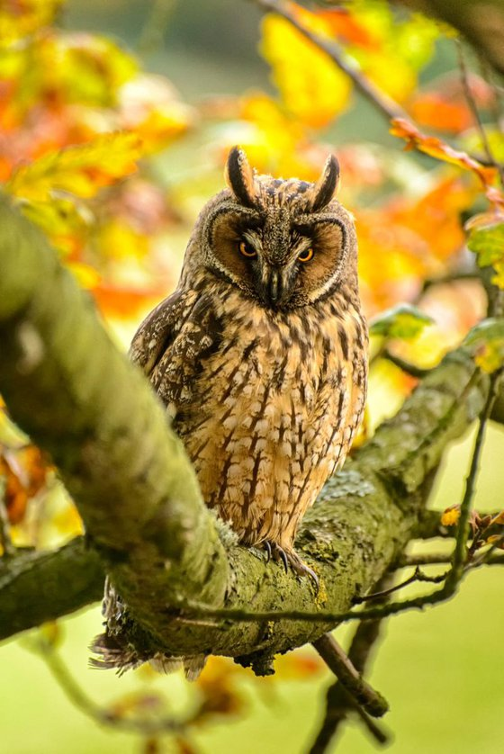 Long Eared Owl  - Limited Edition Print