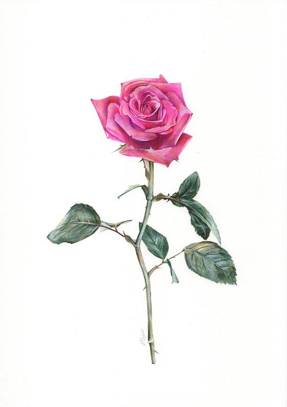 Rose Flower (Ballpoint Pen Drawing)