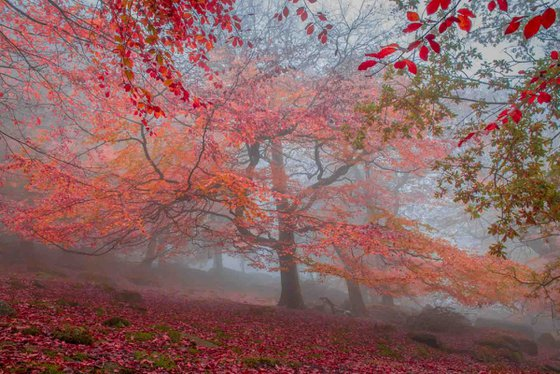 Autumn Beech - Limited Edition Print