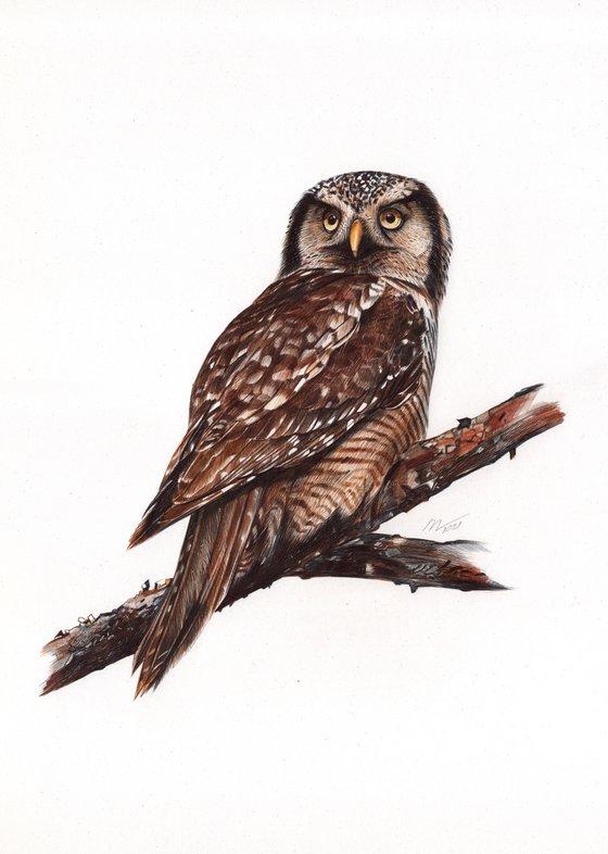 Northern Hawk Owl (Ballpoint pen drawing)