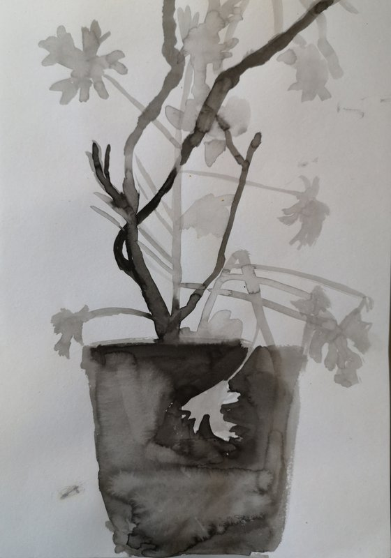 Scented geranium