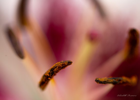 Cala Lily Series Pollen Limited Edition