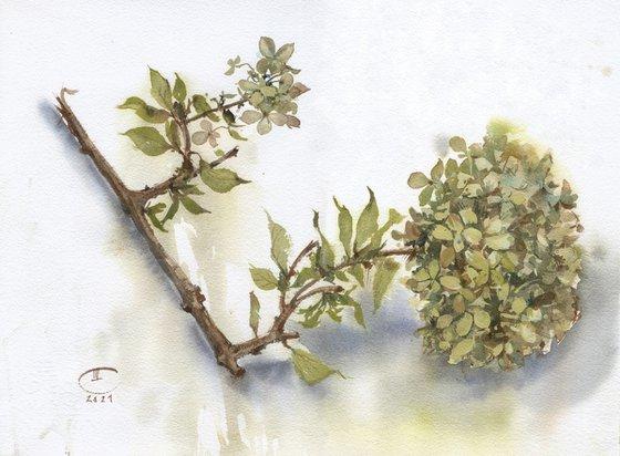 The branch of Hydrangea.