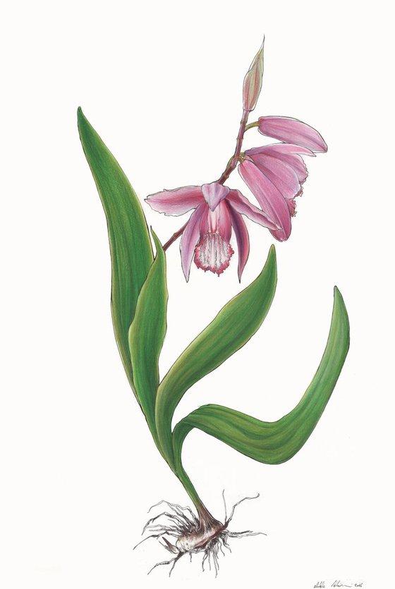 Bletilla - asian orchid
