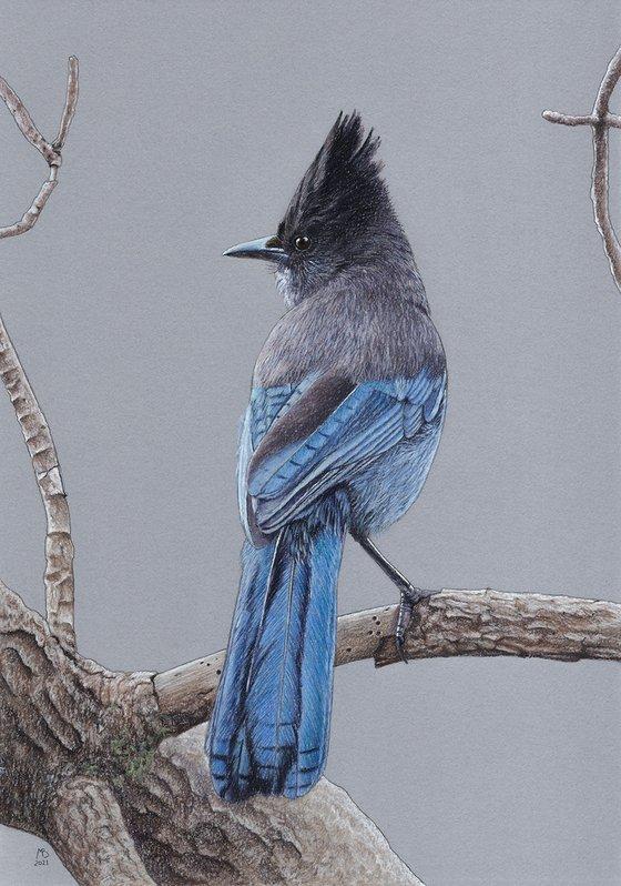 """Original pastel drawing bird """"Steller's jay"""""""