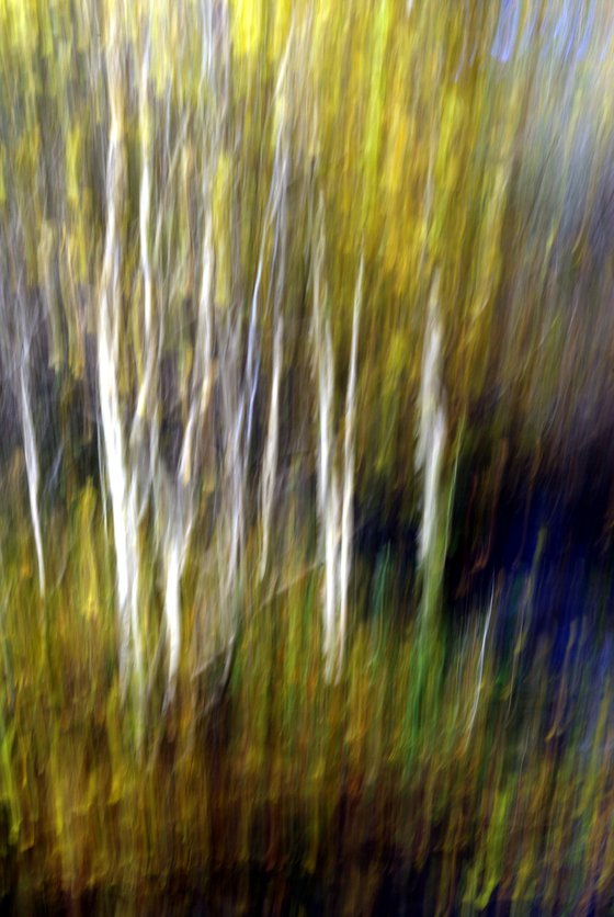 Silver Birches, impressionist trees in woodland landscape