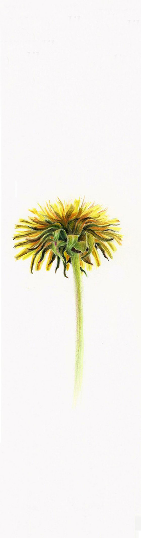 Dandelion - from my Wildflowers Bookmarks Collection