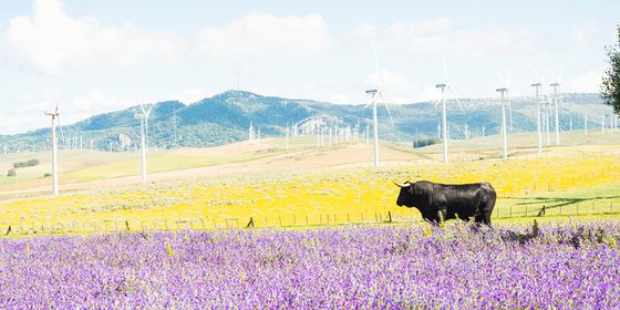 BULL AMONGST FLOWERS / ACRYLIC MOUNTED PRINT