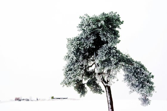 Frozen Pine, minimal winter landscape