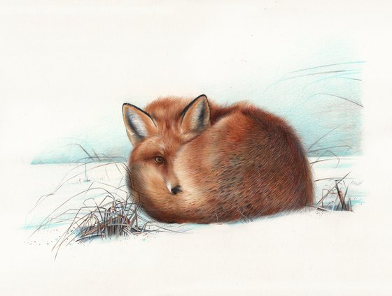 Red Fox (Ballpoint Pen Drawing)