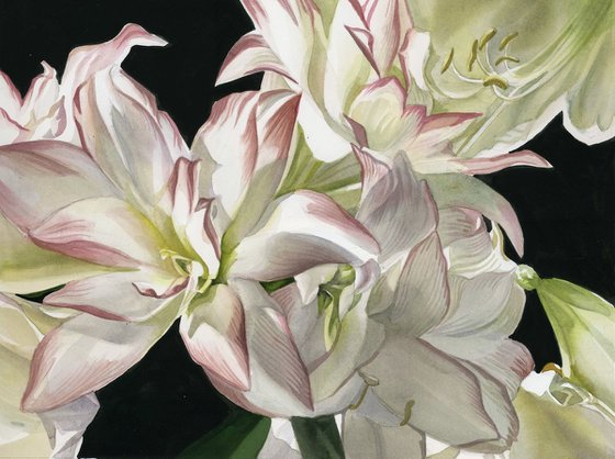 white amaryllis watercolor floral