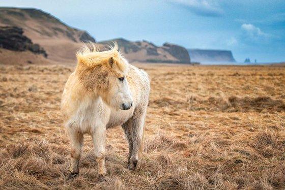 Icelandic Pony  - A3 Limited Edition Print