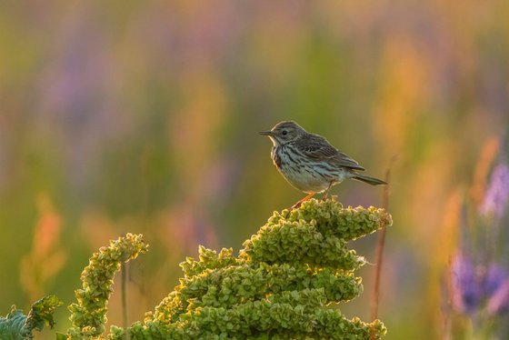 Photography   Birds   Anthus pratensis
