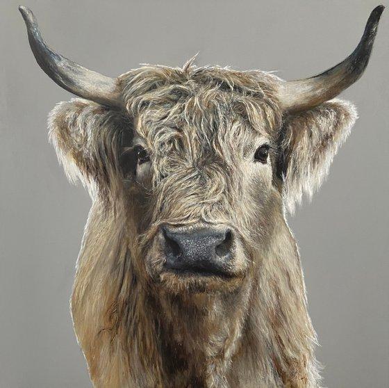 Highland cow on grey