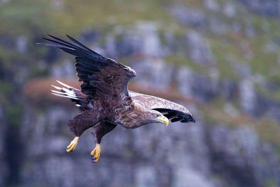 Animals, birds - White-tailed Eagle, the Isle of Mull, Scotland, UK