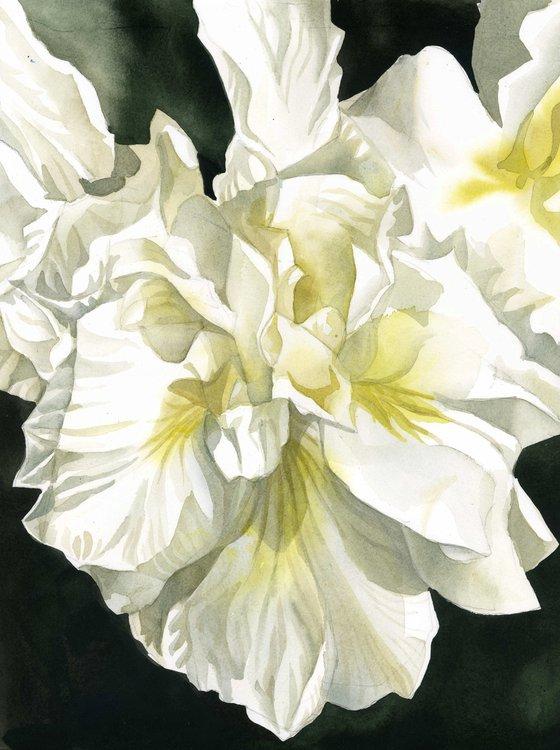 white Japanese iris watercolor