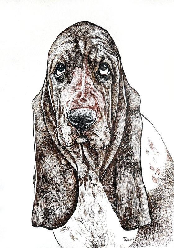 Basset hound 4
