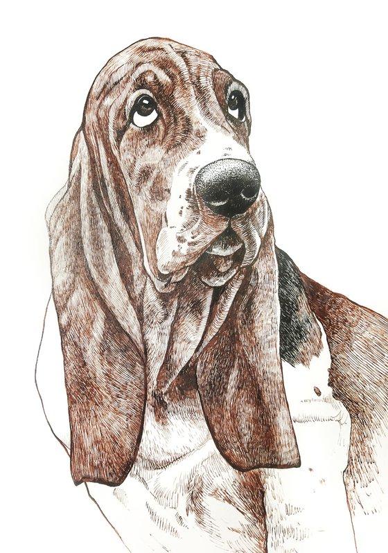 Basset hound 3
