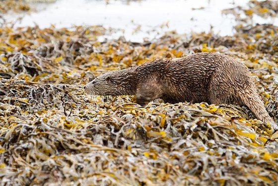 Animals Mammals - Beautifully camouflaged wild Otter on the Isle of Mull, Scotland
