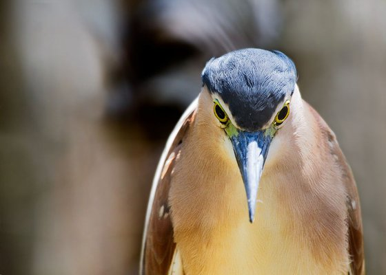Nankeen Night Heron, Trinity Beach, Port Douglas, Queensland, Australia