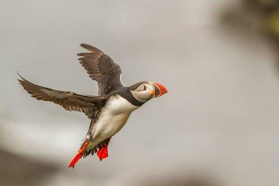 Photography   Birds   Fratercula arctica