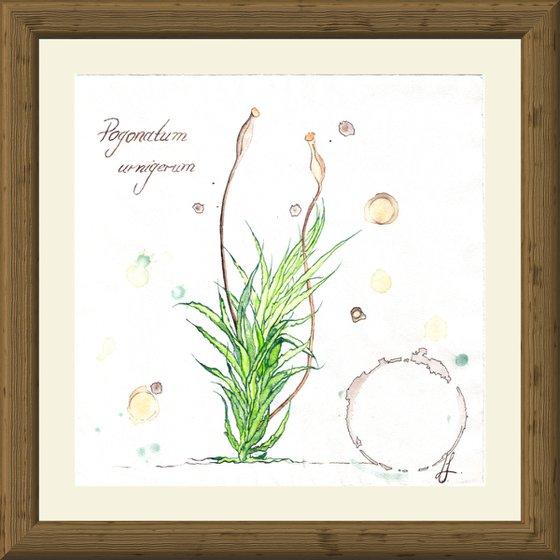 Pogonatum urnigerum - Urn haircap moss - Plant Study #4