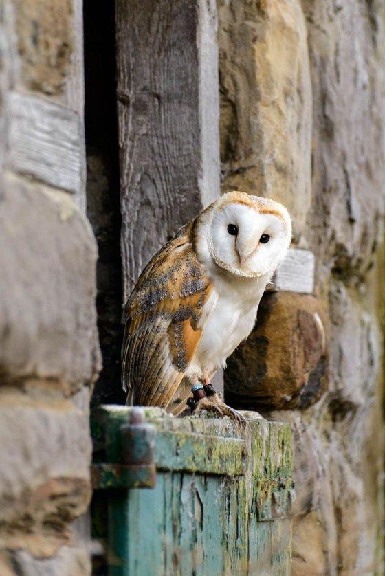 Barn Owl  - Limited Edition Print